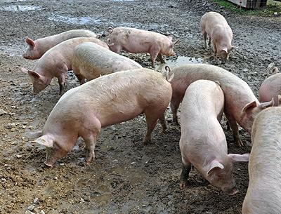 schweine ähnliches tier